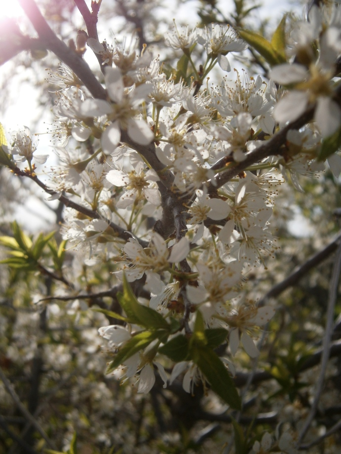 The morning sun shines through the pure white and baby green plum bushes.  The road ditches are alive with the new blooms.