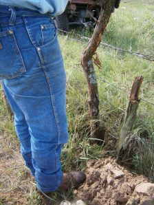 """Trying to """"set"""" the post so it is straight.  Hedge posts are wild trees that are harvested for posts.  Hedge posts are rarely straight."""