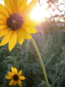 The sun sets through a field of annual sunflowers.