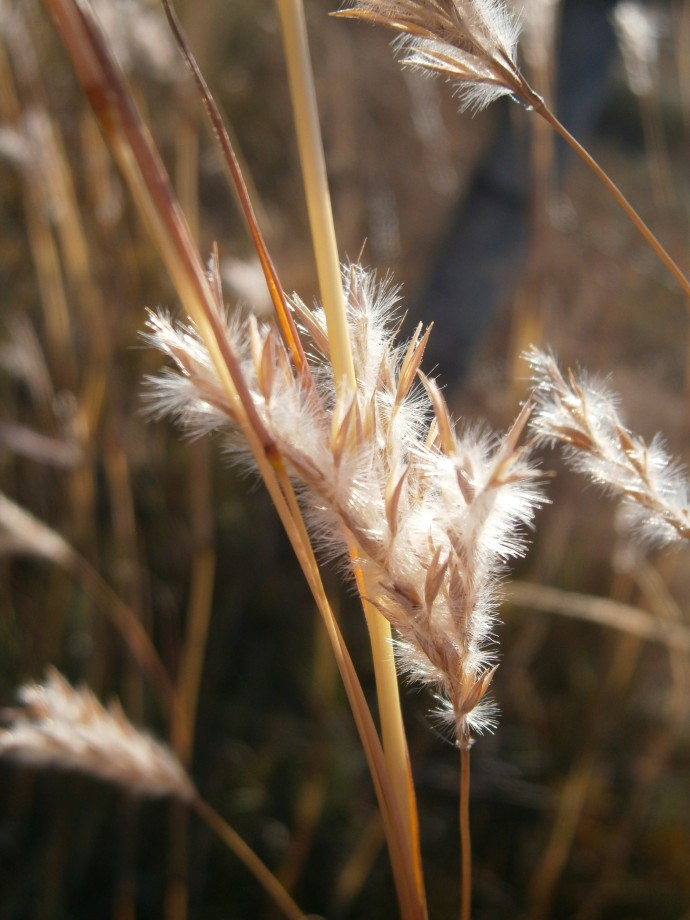 Sand Bluestem- Winter seedhead