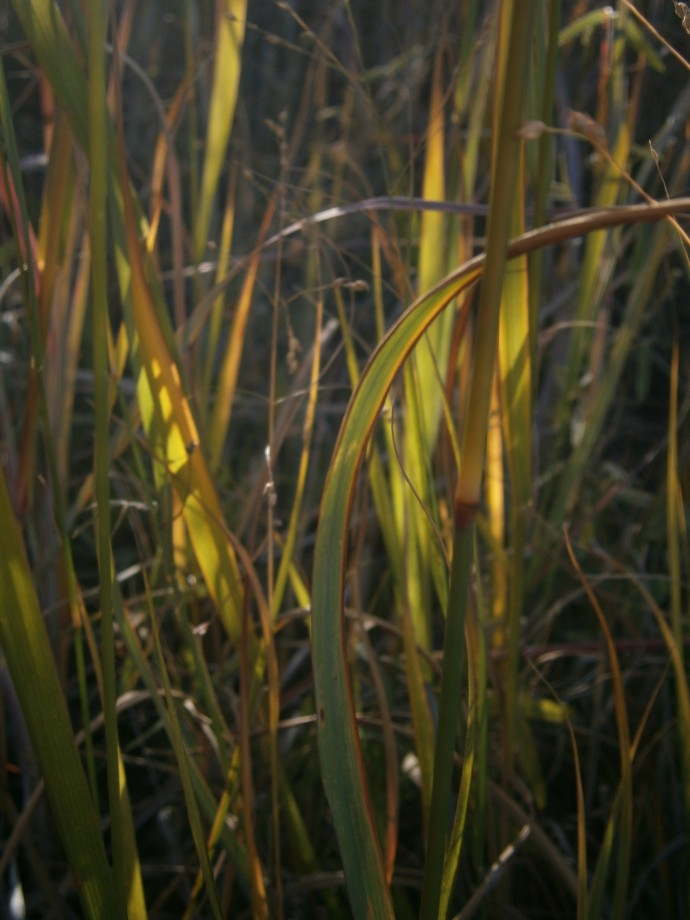 Many colors of Switchgrass