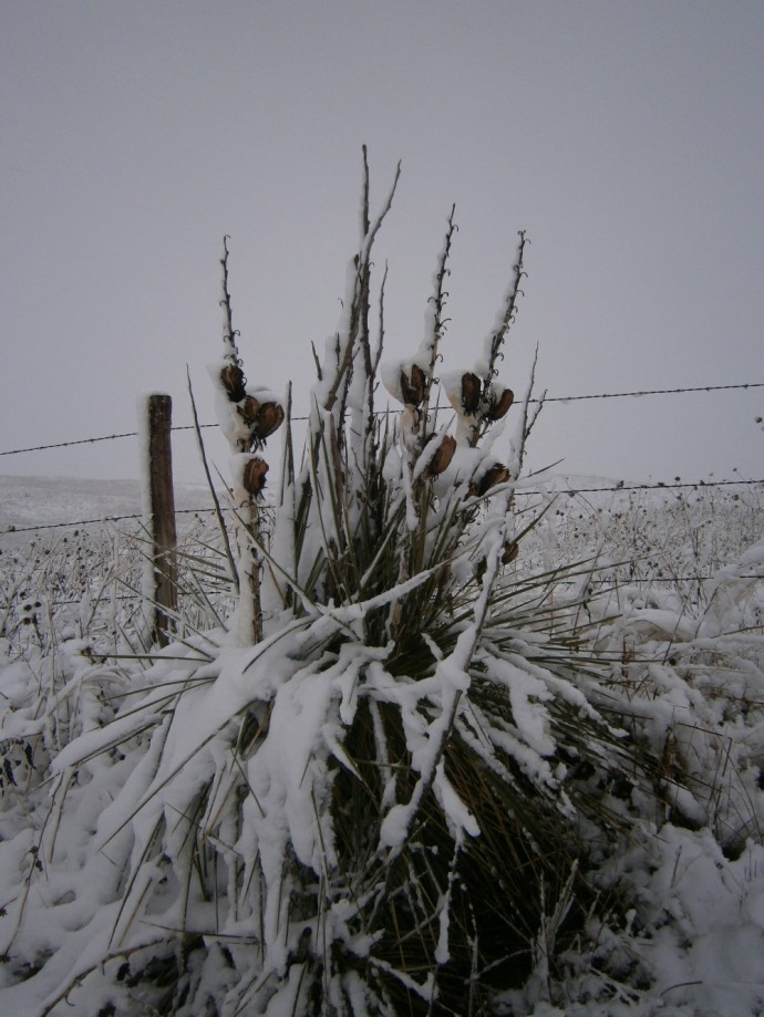Yuccas in snow