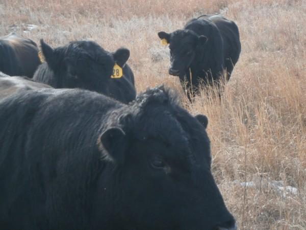 Big bulls