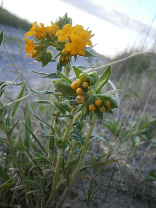 One of the first yellow flowers in the Sandhills.  Gromwells (also called Hoary Puccoons).